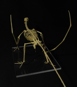 Eudimorphodon 001